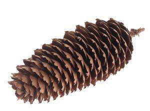 Fructul bradului -con de brad