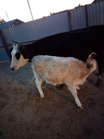 Сиыр мен бұзау сатамын/ продам корова с теленком