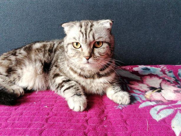 Продаётся племенная кошка шотландская скоттиш-фолд с шикарным окрасом
