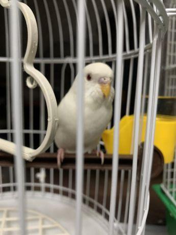 Волнистый попугайчик,белого окраса:з
