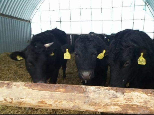 Продажа телят бычков