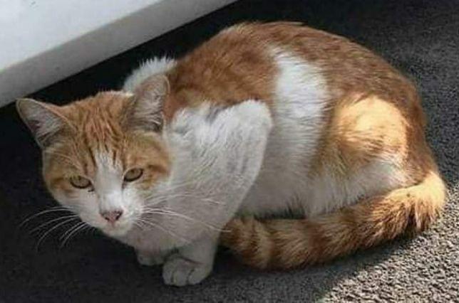 Найден рыже-белый кот в ошейнике возле дороги на Толе би и Бегалина