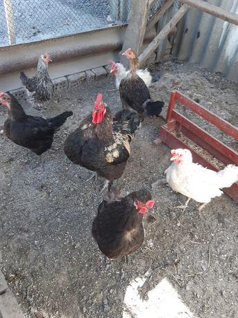Продам домашний кур