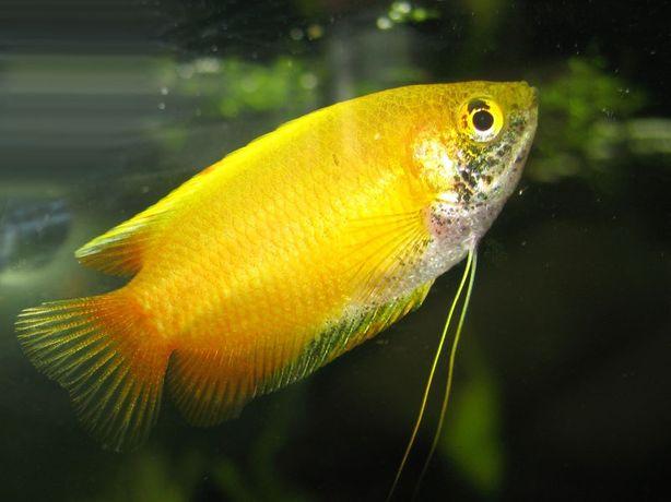 Лялиус жёлтый Лабиринтовая нано-рыбка