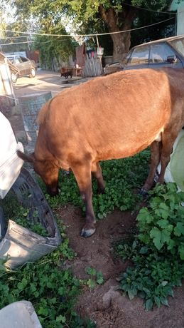 Корова дойная 2 отел
