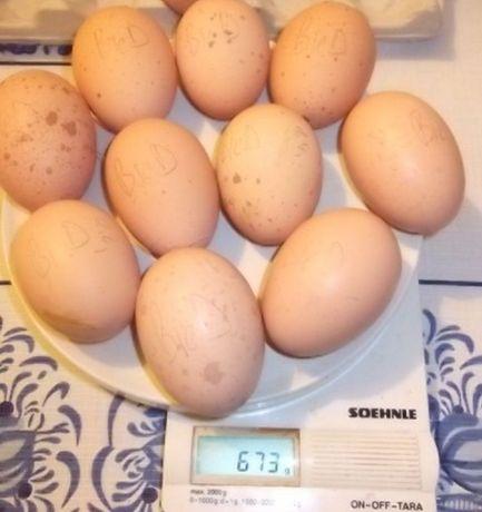 Инкубационный  яйцо Билефельдера