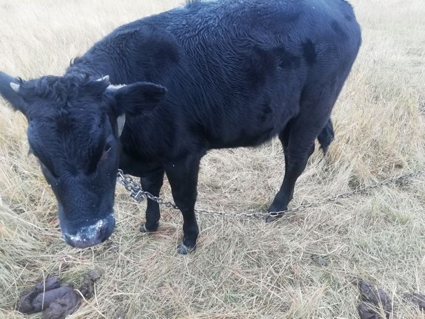 Продам теленка срочно