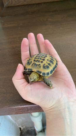 Продам черепаху 5000 тг