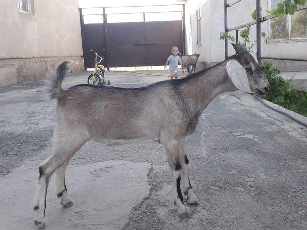 Англо-нубийский козленок