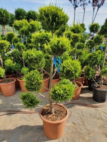 Tuia-palmieri-magnolii-pon pon -spirale-Liliac