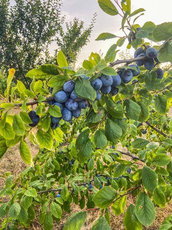 Vând prune (Tuleu gras )