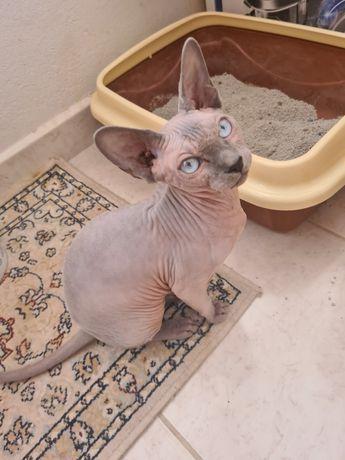 Сфинкс кошка голубоглазая