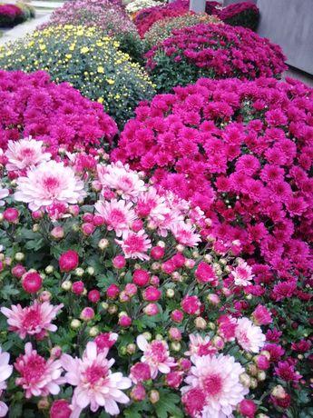 Crizanteme Eufloria