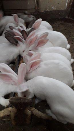 Femele alb de debrecen gestante de vanzare