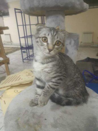Очаровательный котенок вислоухий