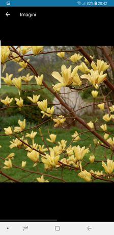 Magnolie galbenă
