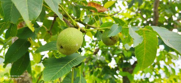 Орехова градина биологично сертифицирана