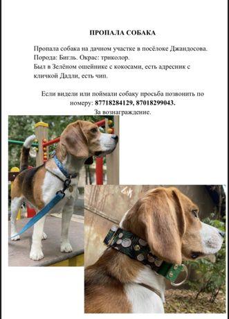 Пропала собака породы бигль