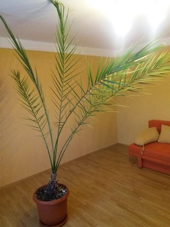 Palmier curmal