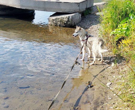 Продается чистокровный щенок Сибирский хаски с документами