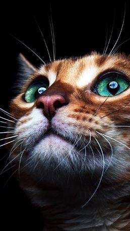 Бенгальский котенок, девочка