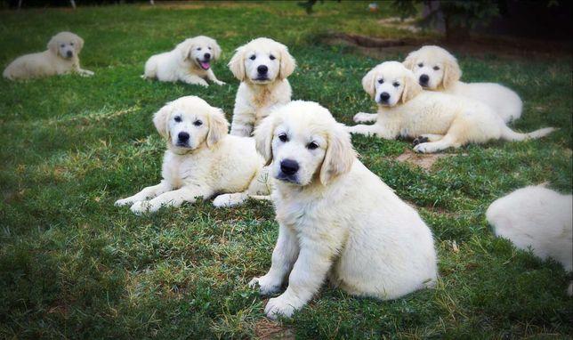 Pui golden retriever cu pedigree,poze reale!