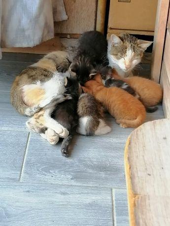 Donez 6 pui de pisica
