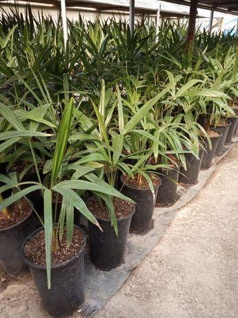 Студоустойчива палма, финикова палма, хамедорея