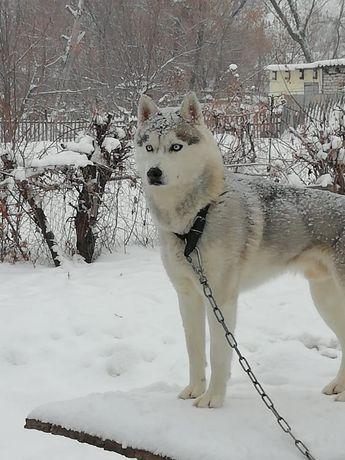 Кобель Сибирской Хаски 2года