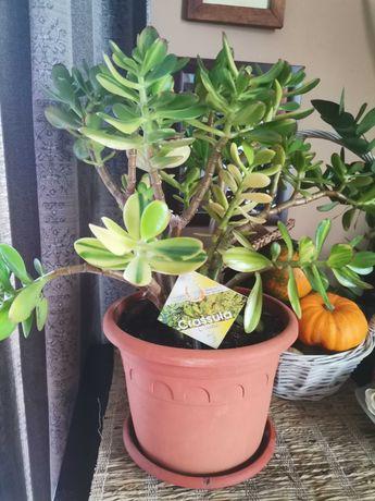 Crassula Ovata planta succesului