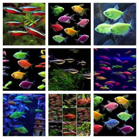Pesti de acvariu Neon Rosu , Neon galben ,Neon inessi ,Neon negru