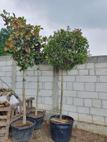 Magnolie grandiflora photinia catalpa Pon pon