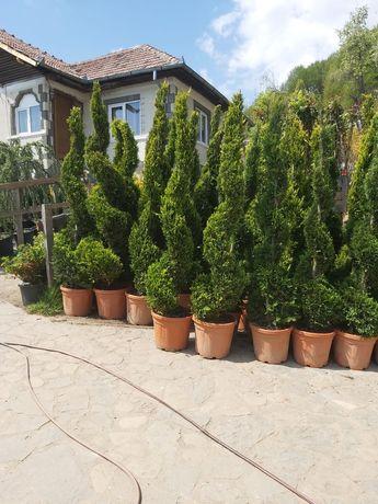 Tuia Smarald si alte plante ornamentale