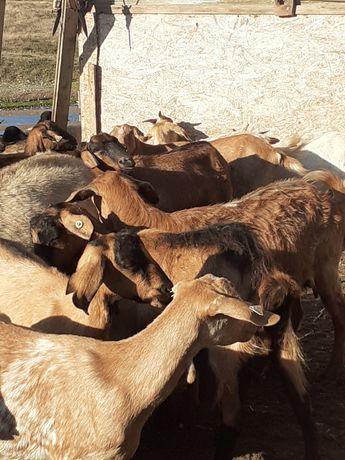 Vând 40 de capre