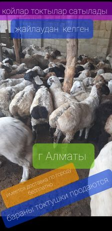 Койлар токтылар сатылады семиз бараны продаются г Алматы