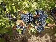 Продавам грозде сорт Каберне - гр. Тополовград