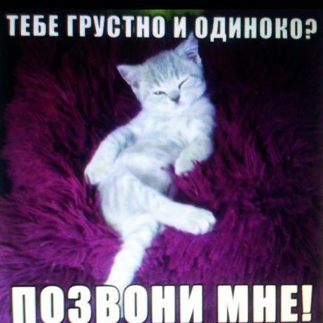 Продаются породистые котята скоттиш-фолд и скоттиш-страйт