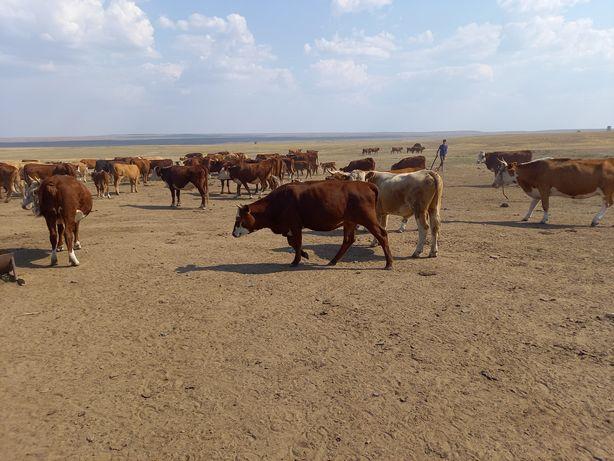 Продам коров телят быков