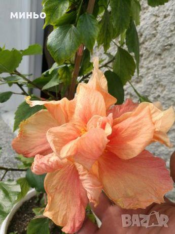 китайски рози