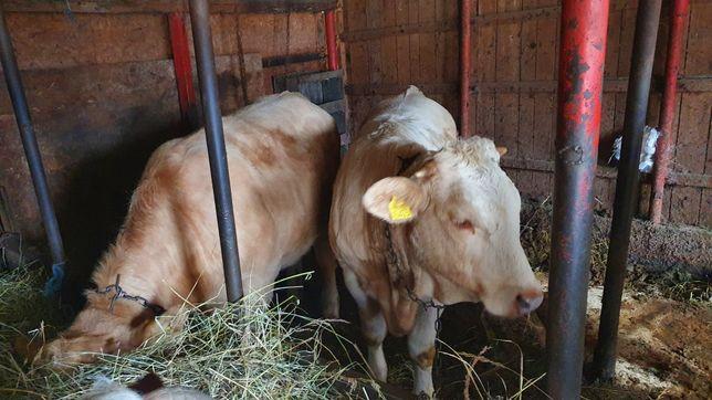 Vițele charolaise, Schimb cu animale pentru abator