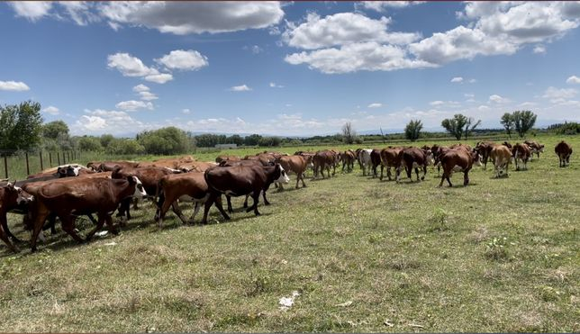 Коровы , Сиырлар