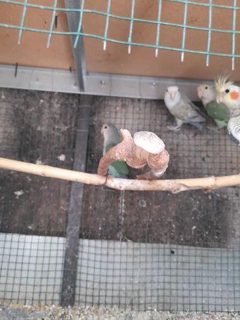 Vanzare papagali amorezi