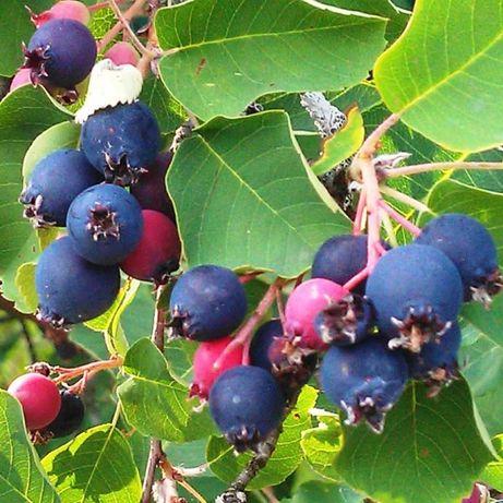 Ирга -Амелансер ламарка, плоден храст