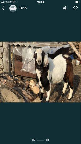 Продам Англонубийского козла производителя !