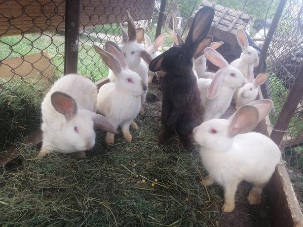Vând iepuri berbec german și rasă comună