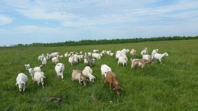 Vând capre