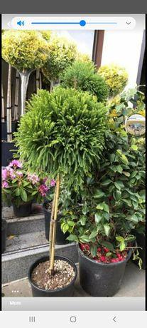 Plante ornametale lămăi madarine tuia smarald spirale mesteceni enuper