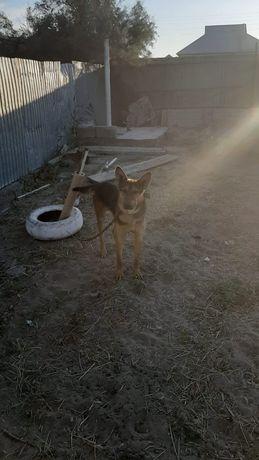 Овчарка собака харошый Обмен есть