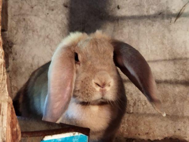 Продаются кролики порода французский баран , есть самцы и самки