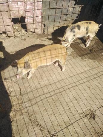 Vind 2 vitele virsta 3 luni